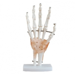Hand Skeleton Model with Ligaments XC-114A