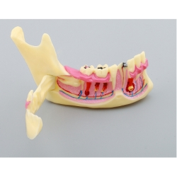 Only Dent - Anatomical Dental Models