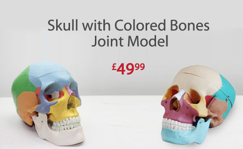 Skull with Colored Bones Joint Model